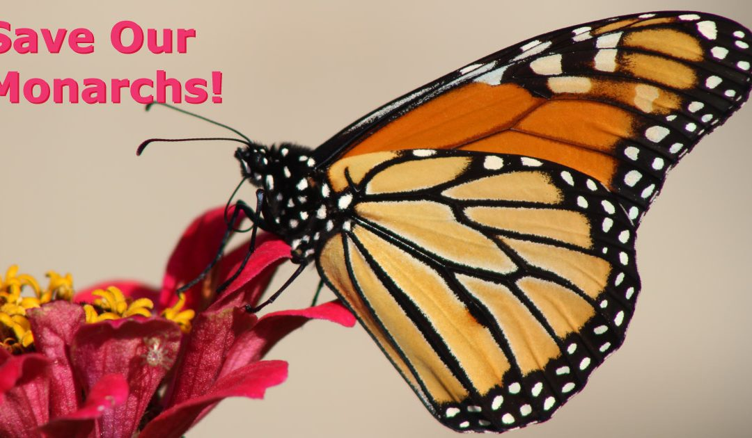 Save our Monarch Butterflies with free seeds